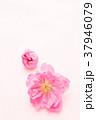 春 桃色 花の写真 37946079