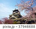 熊本城と桜 37946688