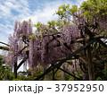 初夏の青空の下に咲く藤棚 37952950
