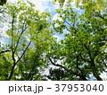 初夏の青空と瑞々しい緑葉 37953040
