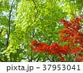 初夏の緑葉と紅葉 37953041
