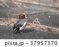 野鳥 雄 カモの写真 37957370