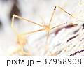オルトマンワラエビ 37958908