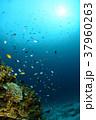 サンゴと小魚 37960263