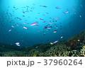 サンゴと小魚 37960264