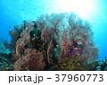 イソバナと小魚 37960773