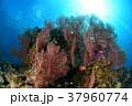 イソバナと小魚 37960774