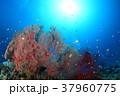 イソバナと小魚 37960775