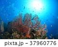 イソバナと小魚 37960776