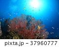 イソバナと小魚 37960777