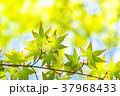 新緑 緑 もみじの写真 37968433