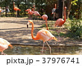 ベニイロフラミンゴ フラミンゴ 鳥の写真 37976741