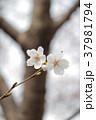 桜 ソメイヨシノ 春の写真 37981794