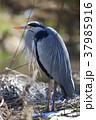 アオサギ 鳥 鳥類の写真 37985916