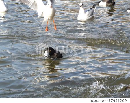 千葉公園綿打池のキンクロハジロとユリカモメ 37991209