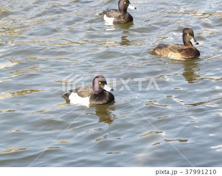 千葉公園綿打池のキンクロハジロ 37991210