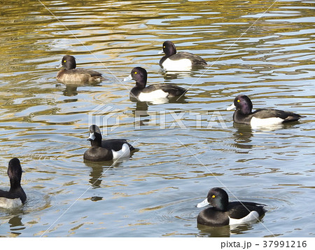千葉公園綿打池のキンクロハジロ 37991216