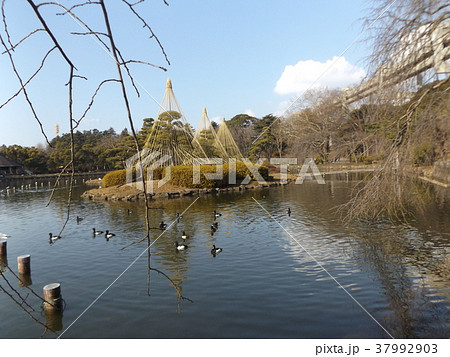 千葉公園綿打池の冬の風物詩雪吊り 37992903