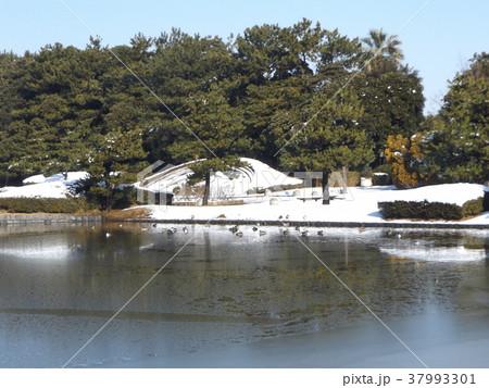 割れた氷の池に泳ぐ渡り鳥オナガガモ 37993301