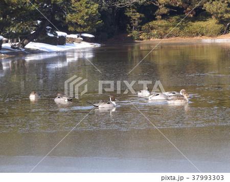 割れた氷の池に泳ぐ渡り鳥オナガガモ 37993303