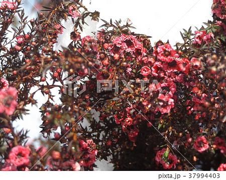 雪の日の桃色の可愛いギョリュウバイの花 37994403