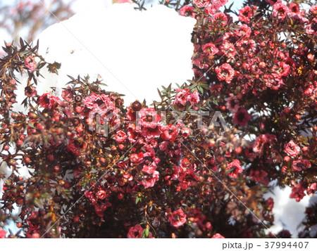 雪の日の桃色の可愛いギョリュウバイの花 37994407