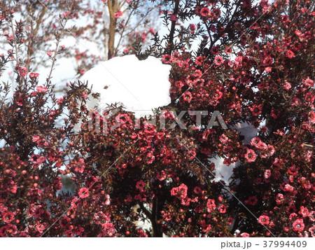 雪の日の桃色の可愛いギョリュウバイの花 37994409
