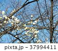 稲毛海岸駅前の綺麗に咲いた白色のウメ 37994411