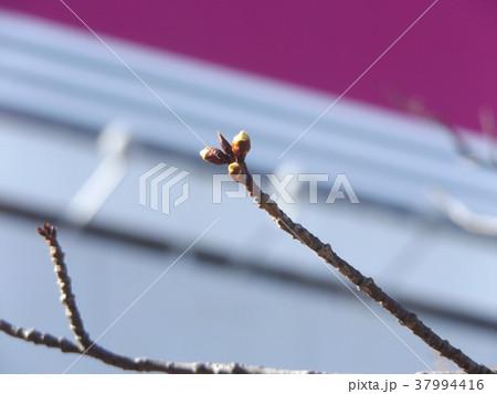 まだまだ硬い稲毛海岸駅前カワヅザクの蕾 37994416