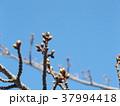 まだまだ硬い稲毛海岸駅前カワヅザクの蕾 37994418
