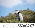 鳥 青鷺 鷺の写真 38003207