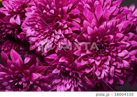 赤紫の菊の花 38004330