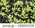 畑の春菊の芽 38004338