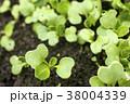 畑の小松菜の芽 38004339