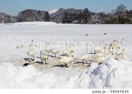 ハクチョウ 飛来地 秋田県大仙市鴬野 冬 38004836