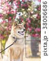 椿バックのかわいい笑顔の柴犬 38006686