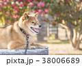 椿バックのかわいい笑顔の柴犬 38006689