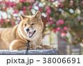 椿バックのかわいい笑顔の柴犬、カメラ目線 38006691