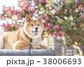 椿バックのかわいい笑顔の柴犬 38006693