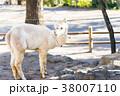 楽寿園のアルパカ 38007110