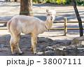 楽寿園のアルパカ 38007111