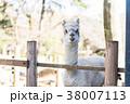 楽寿園のアルパカ 38007113