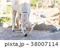 楽寿園のアルパカ 38007114
