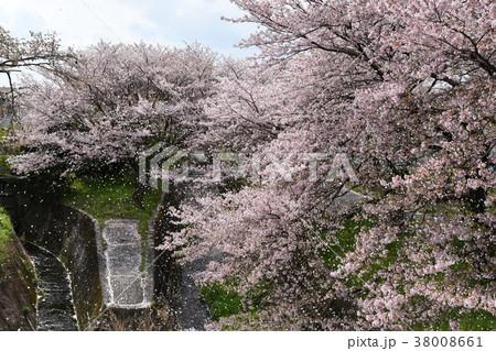瀬田 長沢川の桜吹雪 38008661