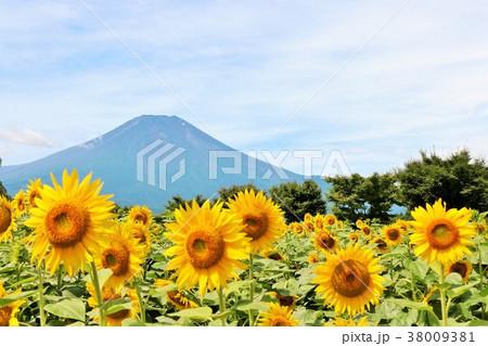富士山とひまわり 38009381