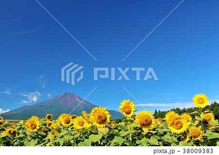夏の青空と元気に咲くひまわりたち そして富士山 38009383