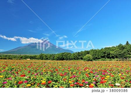 夏の青空と富士山と百日草 38009386