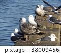 銚子漁港のウミネコと大型カモメ 38009456