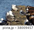 銚子漁港のウミネコと大型カモメ 38009457