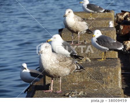 銚子漁港のウミネコと大型カモメ 38009459